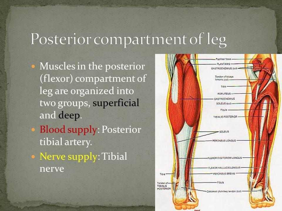 Posterior compartment of leg