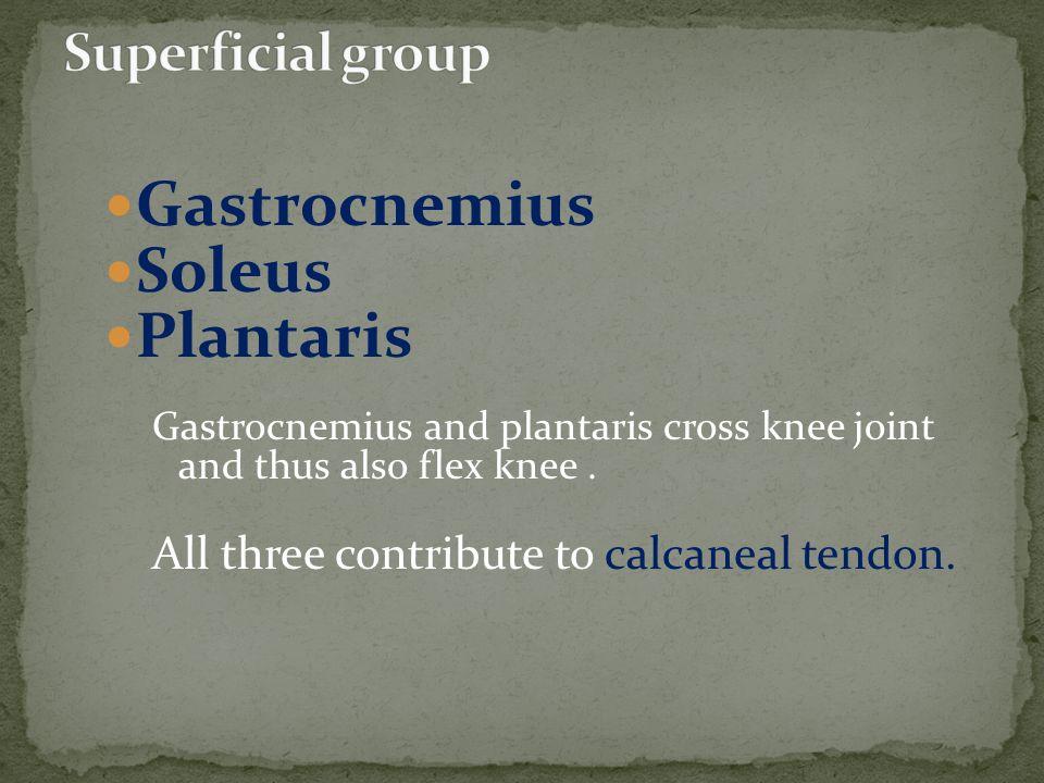 Gastrocnemius Soleus Plantaris Superficial group