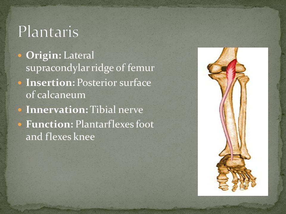 Plantaris Origin: Lateral supracondylar ridge of femur