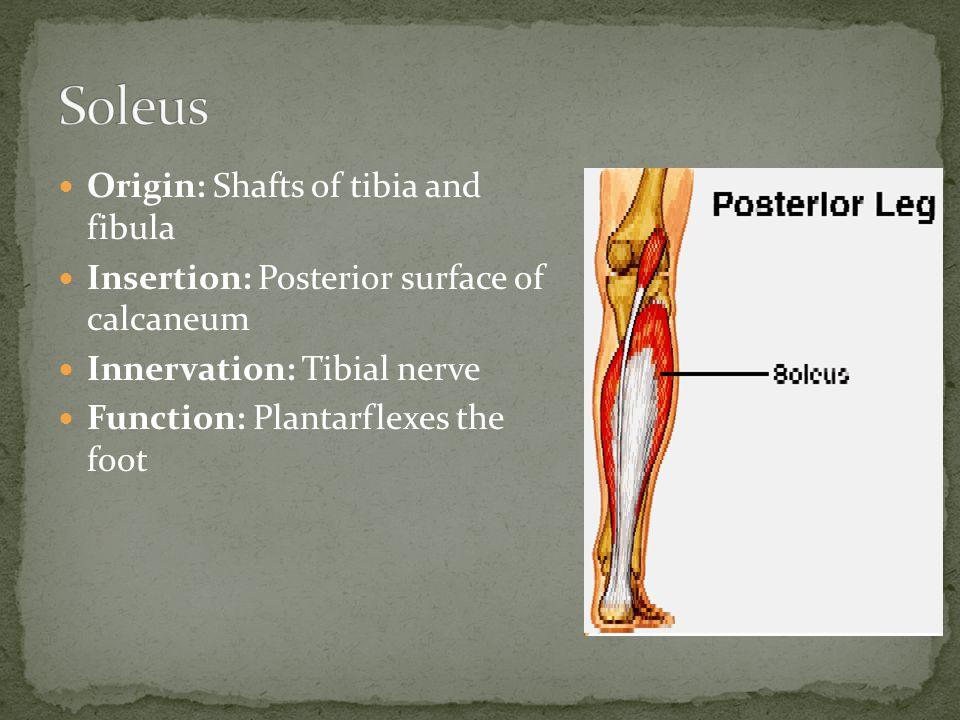 Soleus Origin: Shafts of tibia and fibula