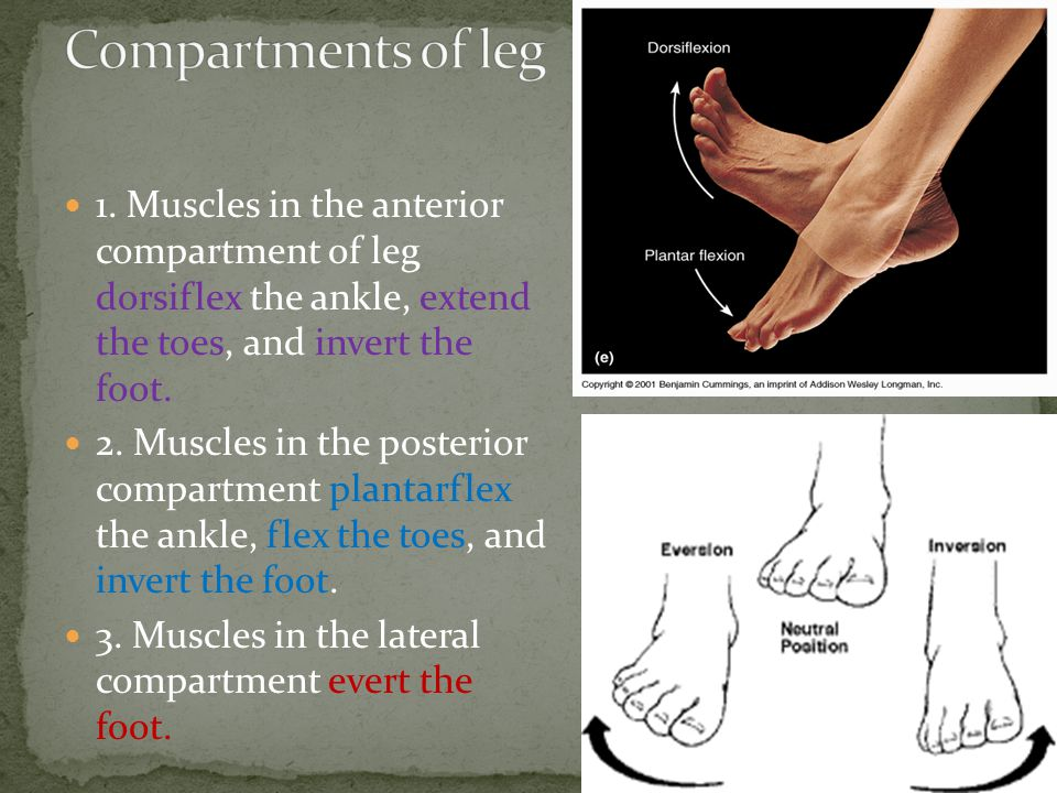 Compartments of leg 1. Muscles in the anterior compartment of leg dorsiflex the ankle, extend the toes, and invert the foot.