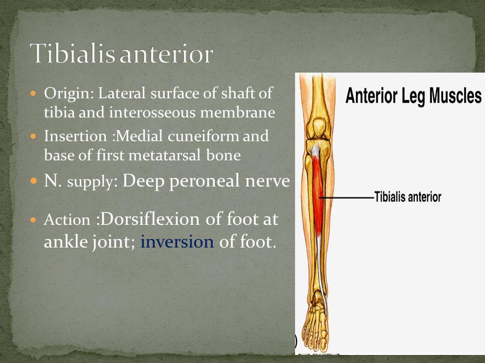 Tibialis anterior N. supply: Deep peroneal nerve