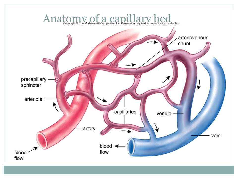 Capillary Beds 28 Images Capillary Bed Capillary Bed Lymphoedema Royalty Free Stock Photo