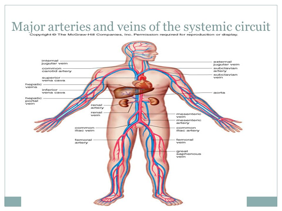 Major arteries and veins of the systemic circuit