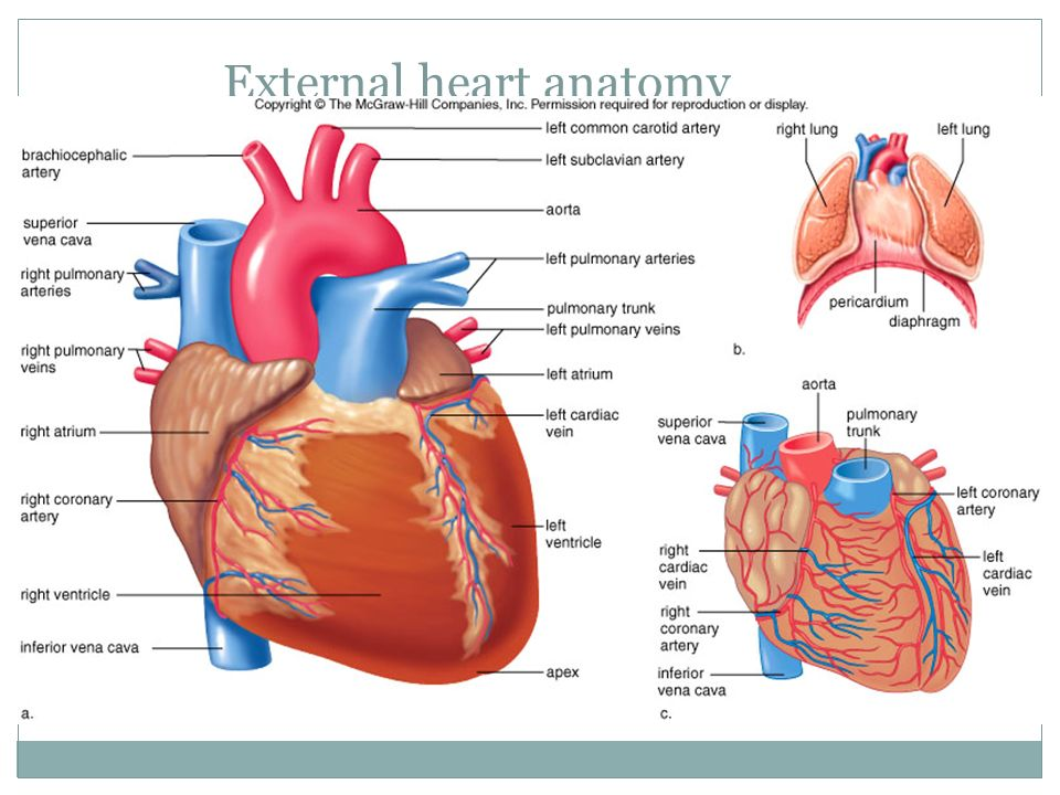 External heart anatomy
