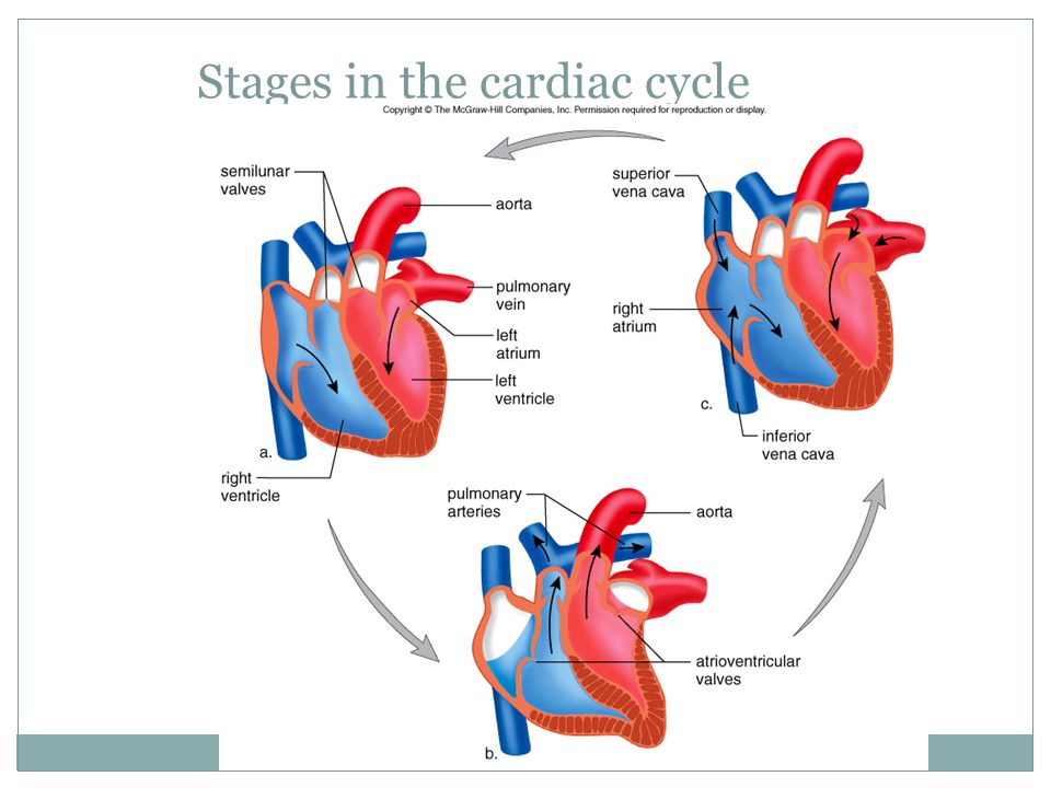 Stages in the cardiac cycle