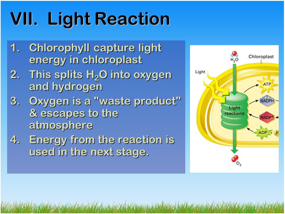 VII. Light Reaction Chlorophyll capture light energy in chloroplast