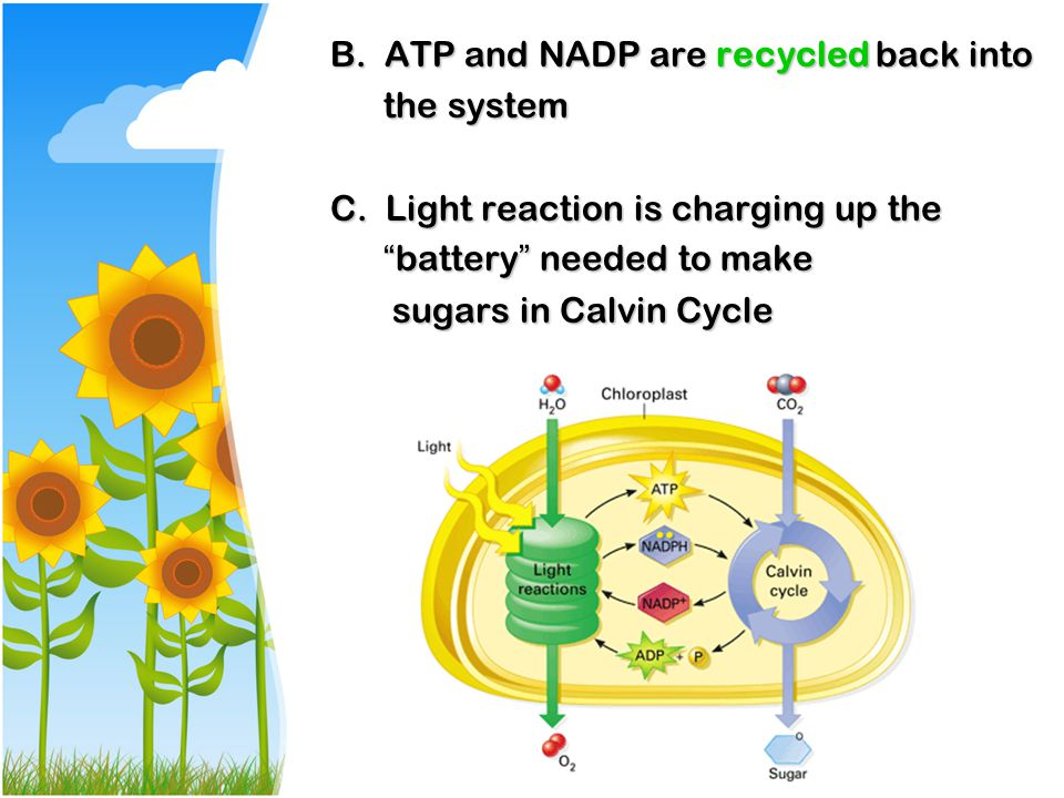 B. ATP and NADP are recycled back into