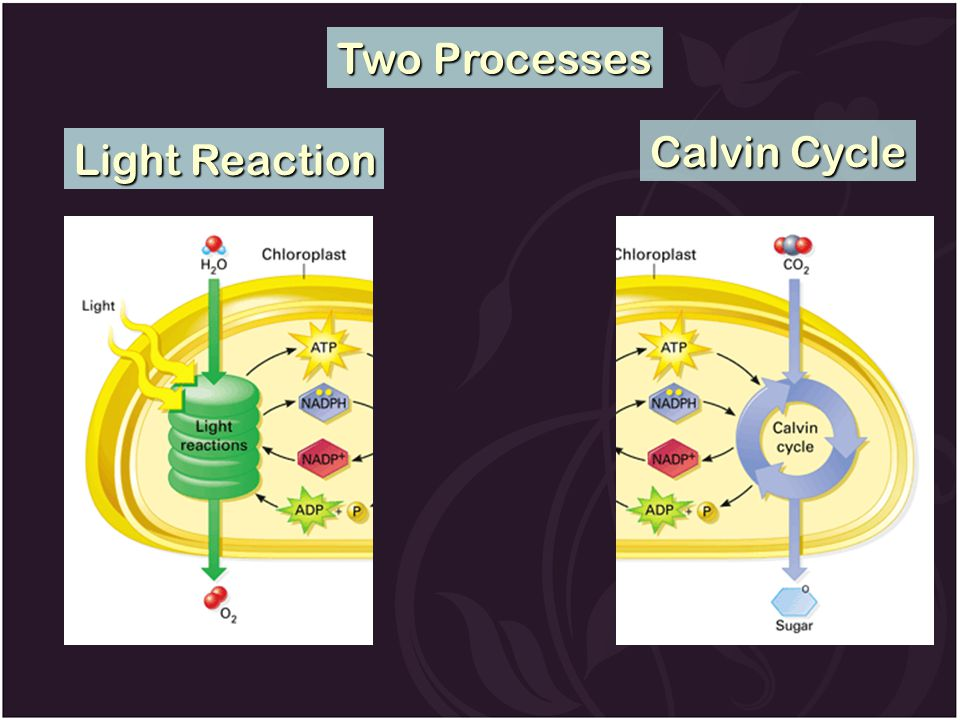 Two Processes Calvin Cycle Light Reaction