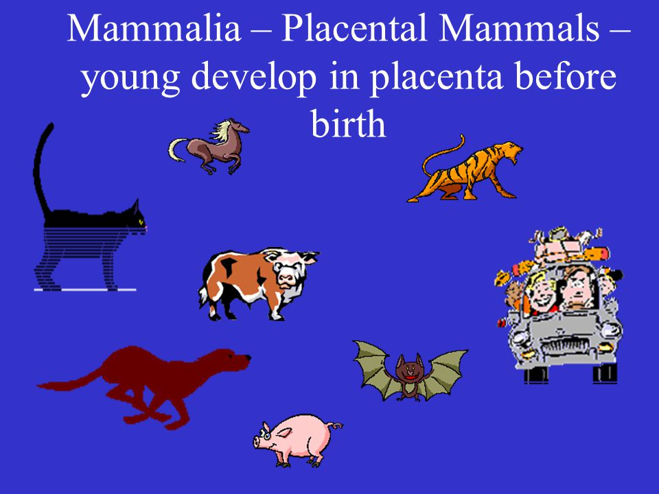 Mammalia – Placental Mammals – young develop in placenta before birth