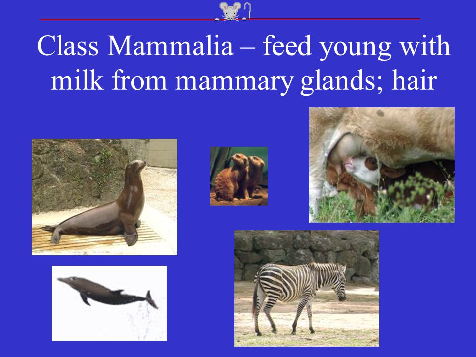 Class Mammalia – feed young with milk from mammary glands; hair