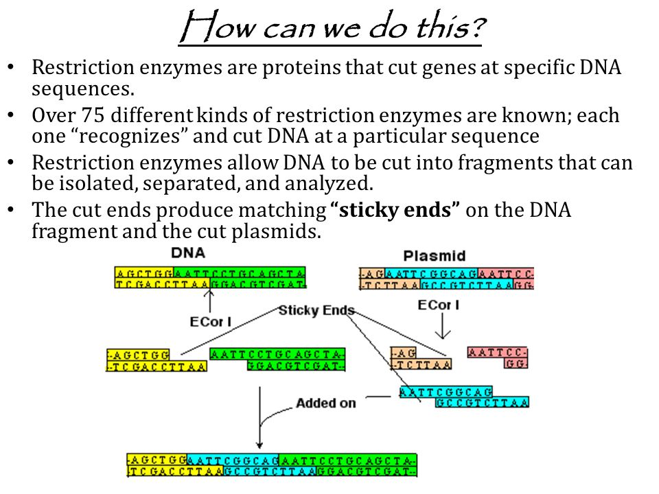 How can we do this Restriction enzymes are proteins that cut genes at specific DNA sequences.