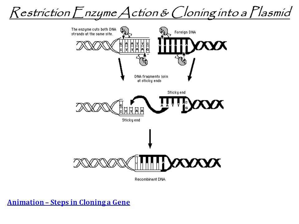 Restriction Enzyme Action & Cloning into a Plasmid