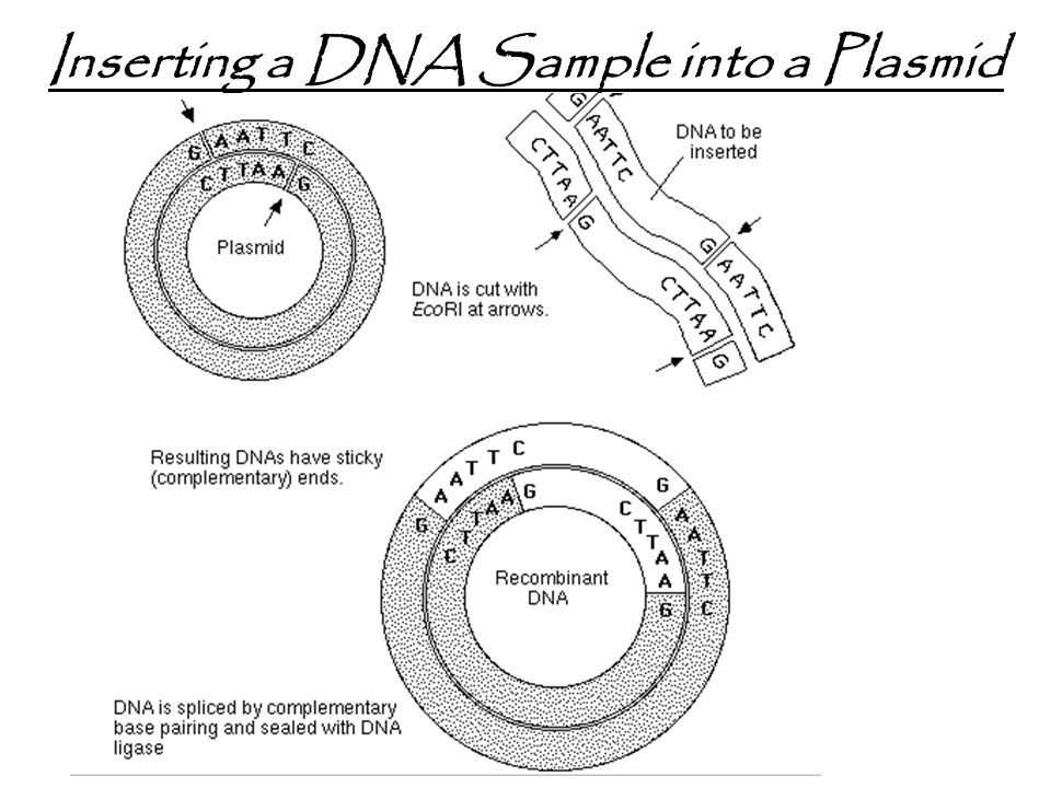 Inserting a DNA Sample into a Plasmid