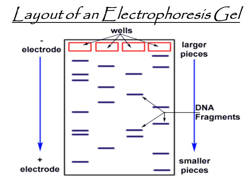Layout of an Electrophoresis Gel