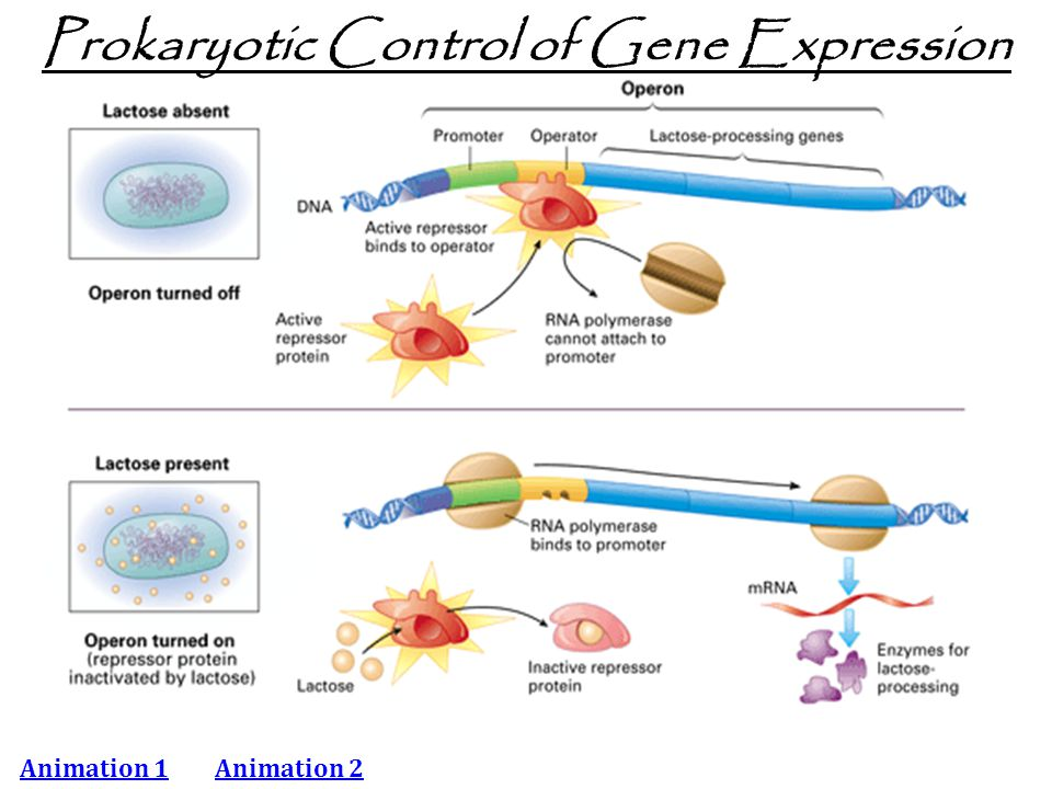 Prokaryotic Control of Gene Expression