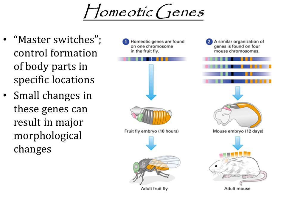 Homeotic Genes Master switches ; control formation of body parts in specific locations.