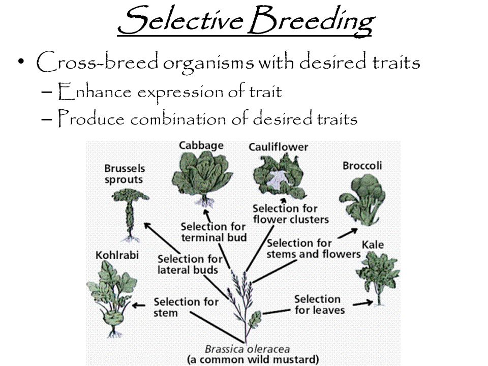 Selective Breeding Cross-breed organisms with desired traits
