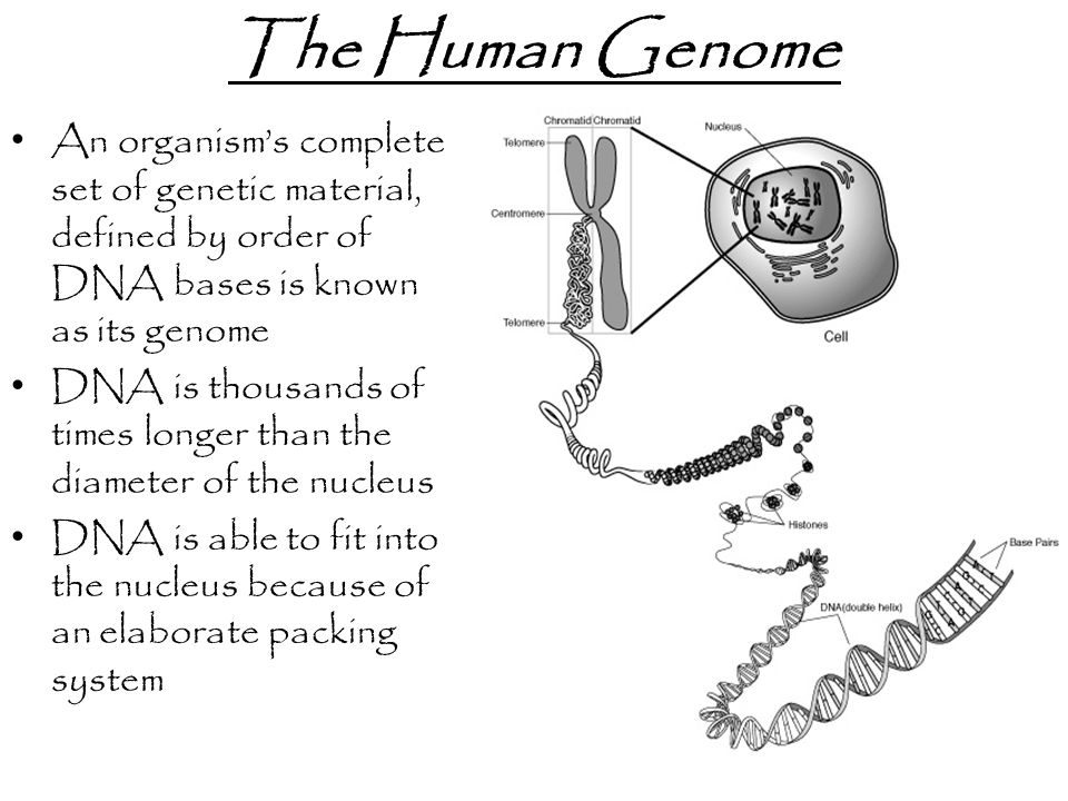 The Human Genome An organism's complete set of genetic material, defined by order of DNA bases is known as its genome.
