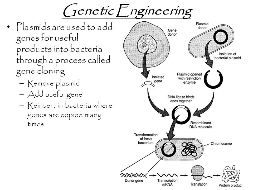 Genetic Engineering Plasmids are used to add genes for useful products into bacteria through a process called gene cloning.