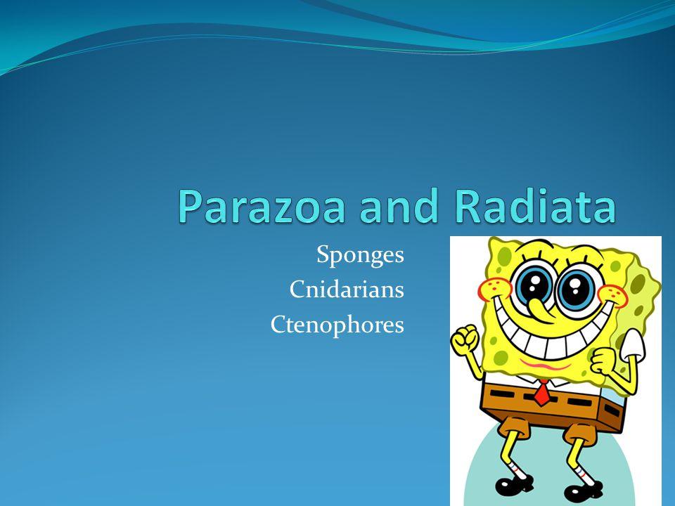 Sponges Cnidarians Ctenophores