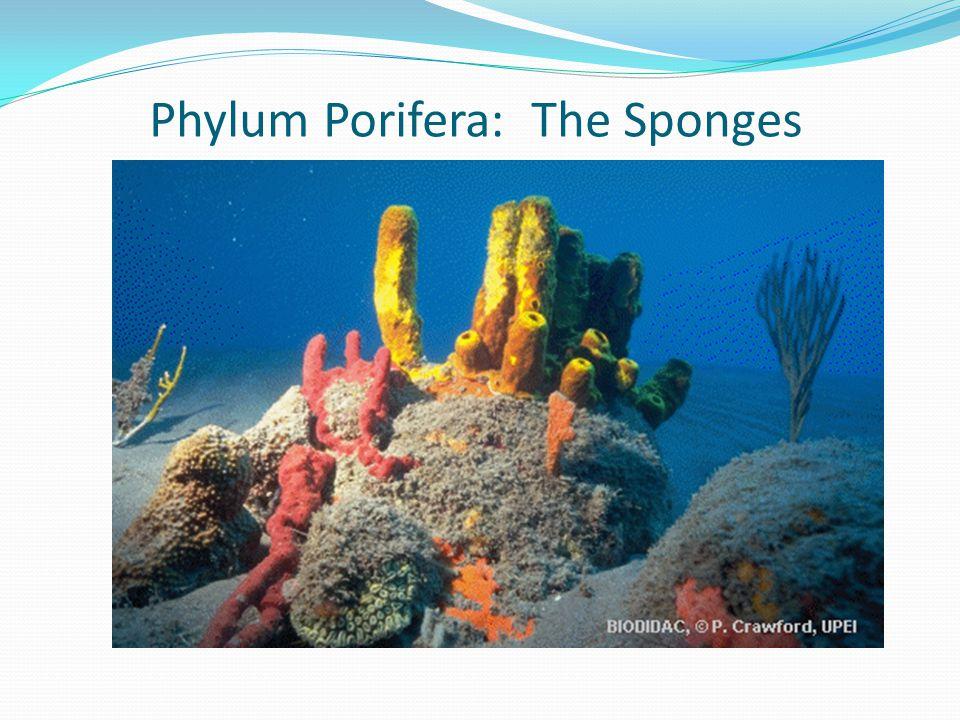 Phylum Porifera: The Sponges