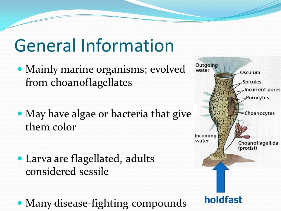 General Information Mainly marine organisms; evolved from choanoflagellates. May have algae or bacteria that give them color.