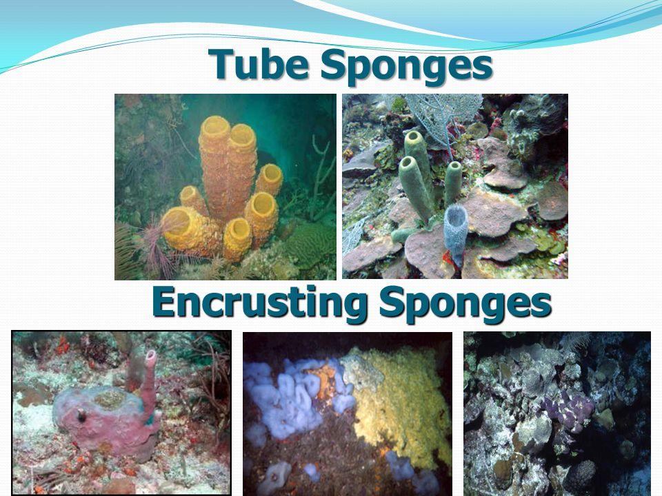 Tube Sponges Encrusting Sponges