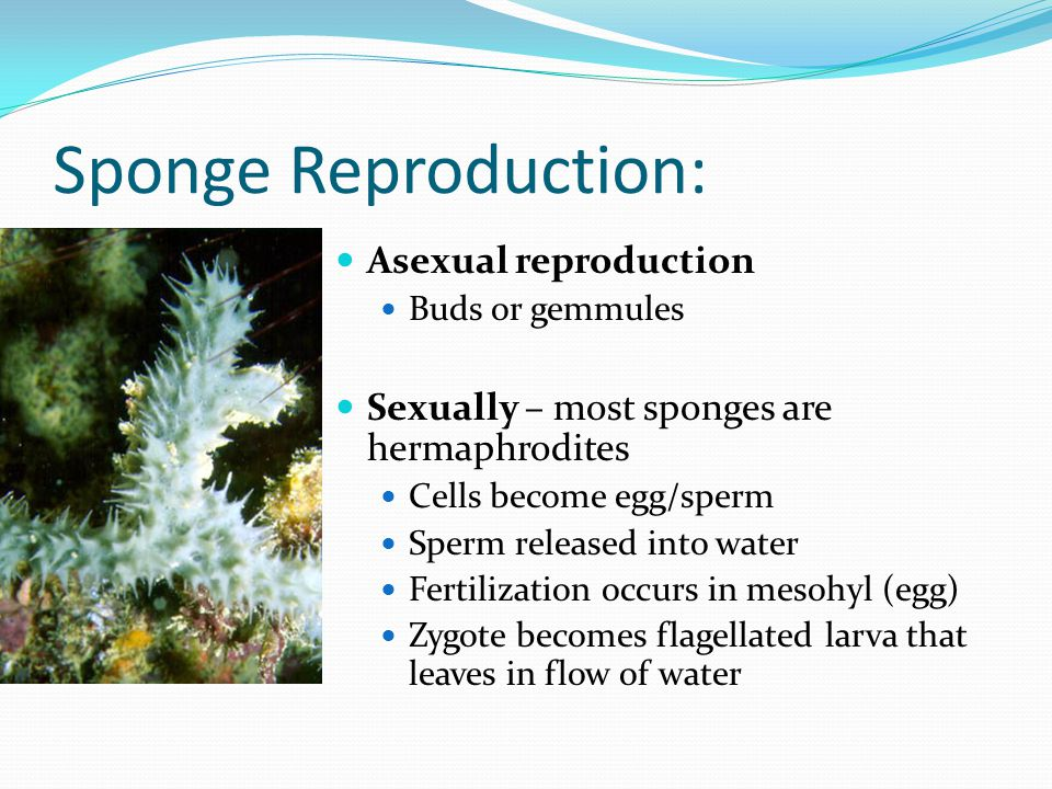 Sponge Reproduction: Asexual reproduction