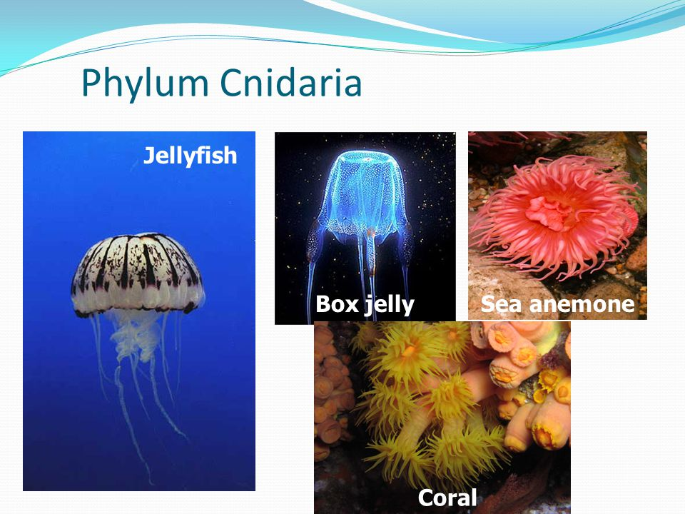 Phylum Cnidaria Jellyfish Box jelly Sea anemone Coral