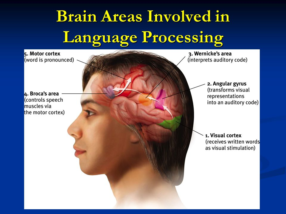 Brain Areas Involved in Language Processing