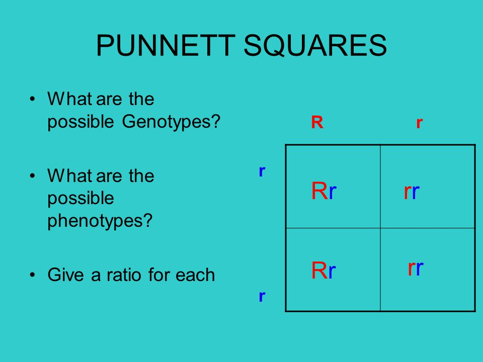 PUNNETT SQUARES Rr rr rr Rr What are the possible Genotypes