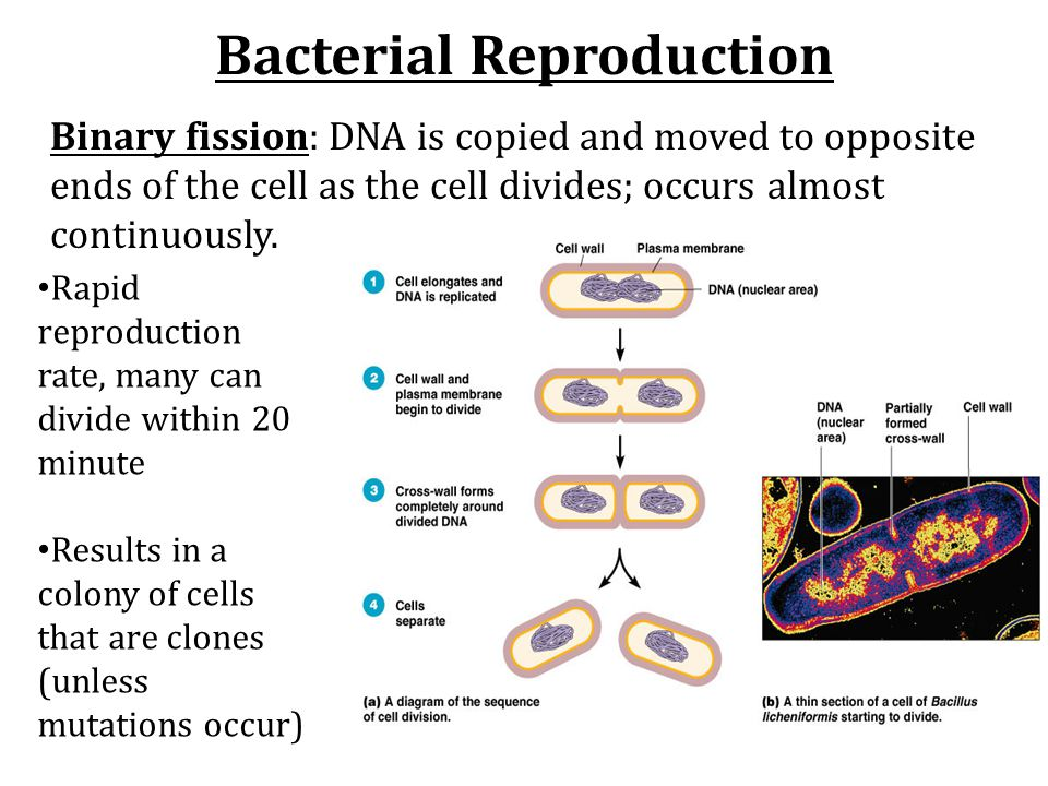 Bacterial Reproduction