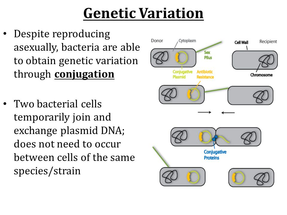 Genetic Variation Despite reproducing asexually, bacteria are able to obtain genetic variation through conjugation.