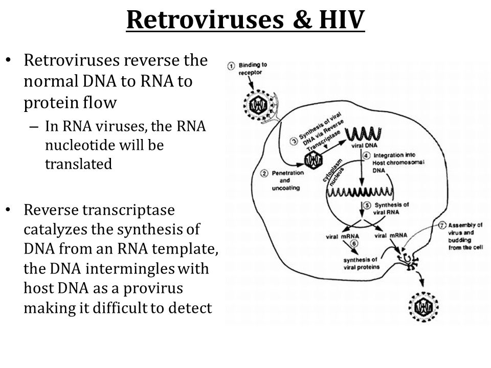 Retroviruses & HIV Retroviruses reverse the normal DNA to RNA to protein flow. In RNA viruses, the RNA nucleotide will be translated.