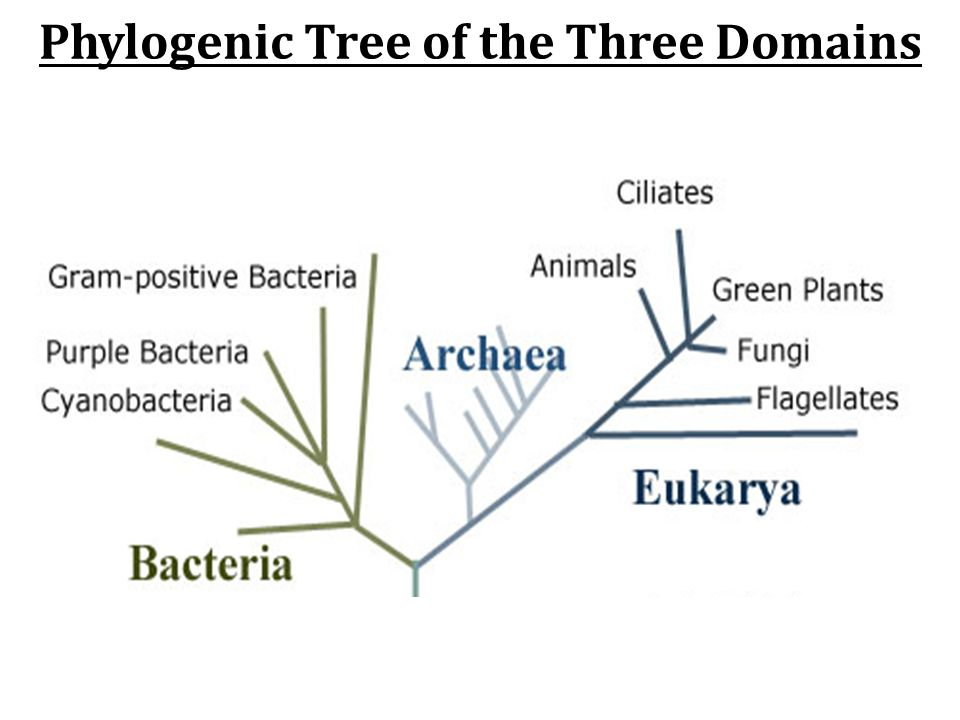 Phylogenic Tree of the Three Domains
