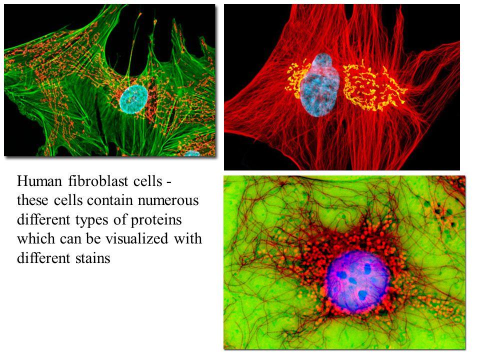 Human fibroblast cells -
