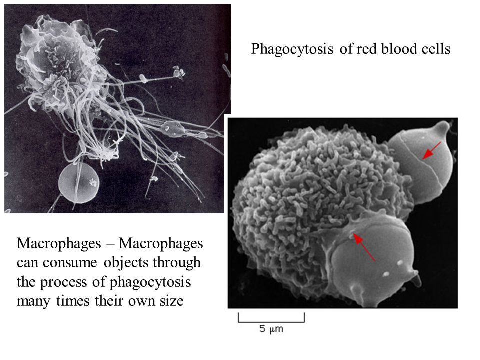Phagocytosis of red blood cells