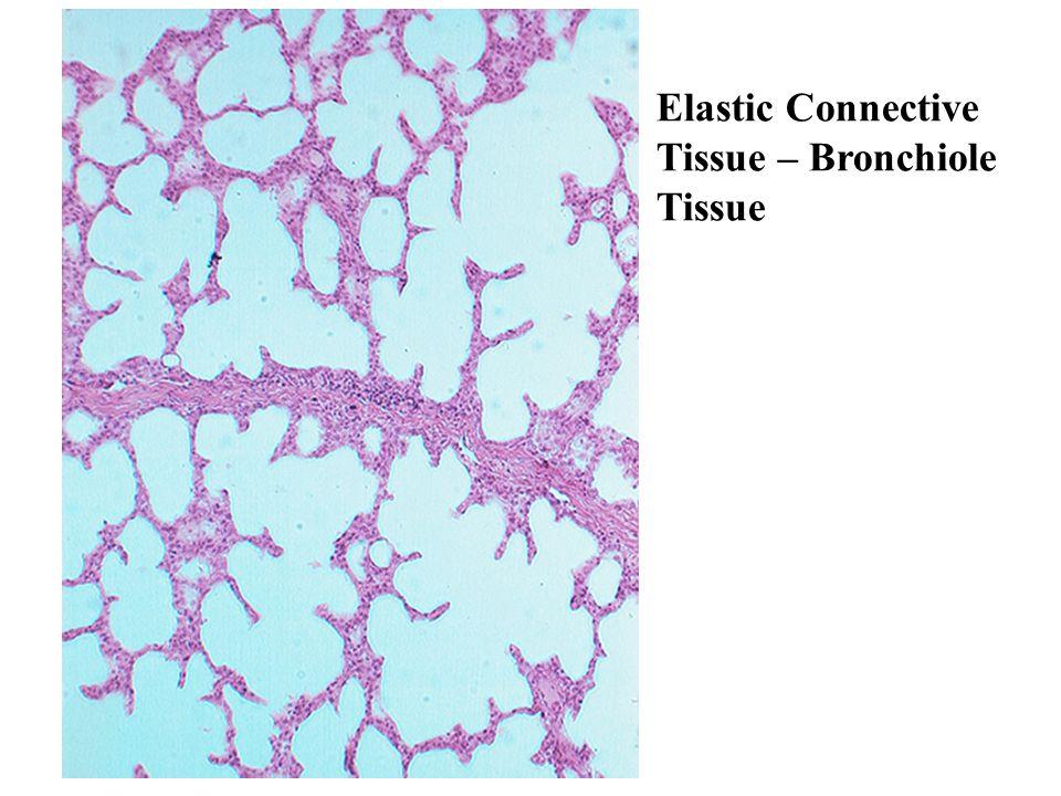 Elastic Connective Tissue – Bronchiole Tissue