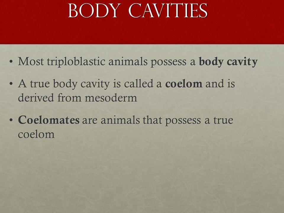 Body Cavities Most triploblastic animals possess a body cavity