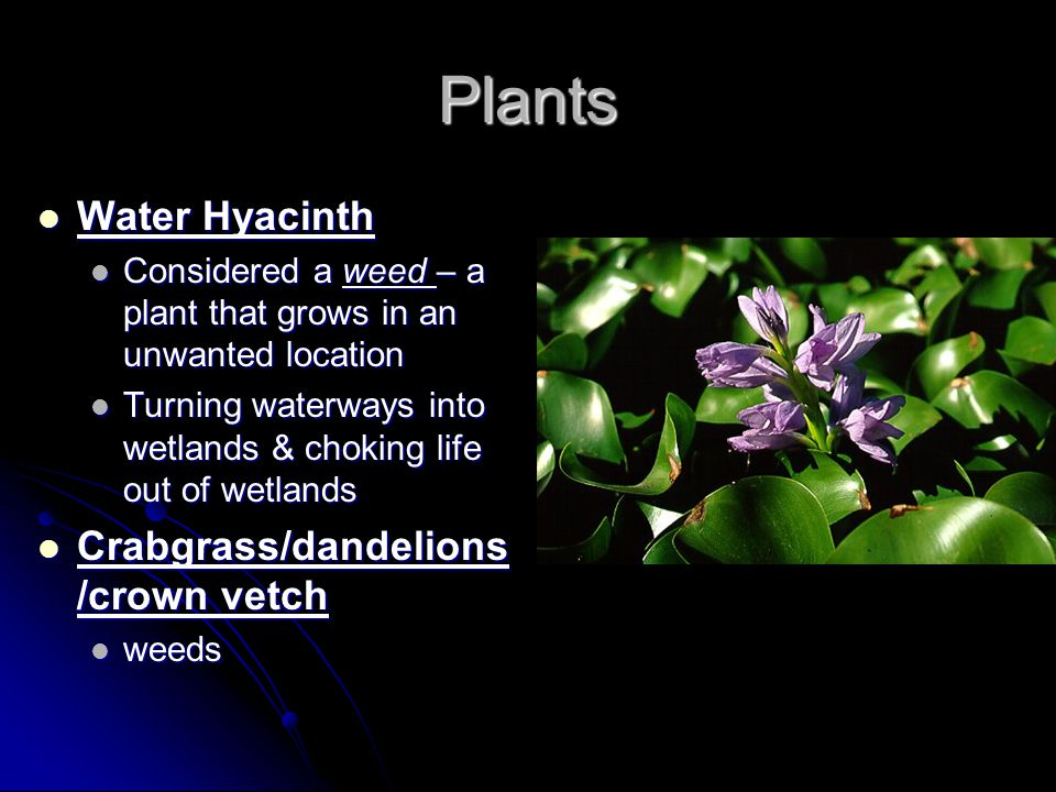 Plants Water Hyacinth Crabgrass/dandelions/crown vetch