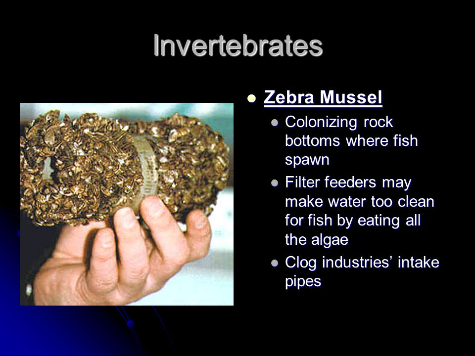 Invertebrates Zebra Mussel Colonizing rock bottoms where fish spawn