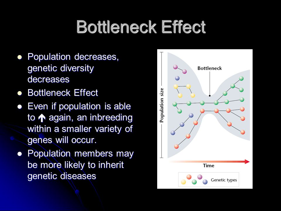 Bottleneck Effect Population decreases, genetic diversity decreases