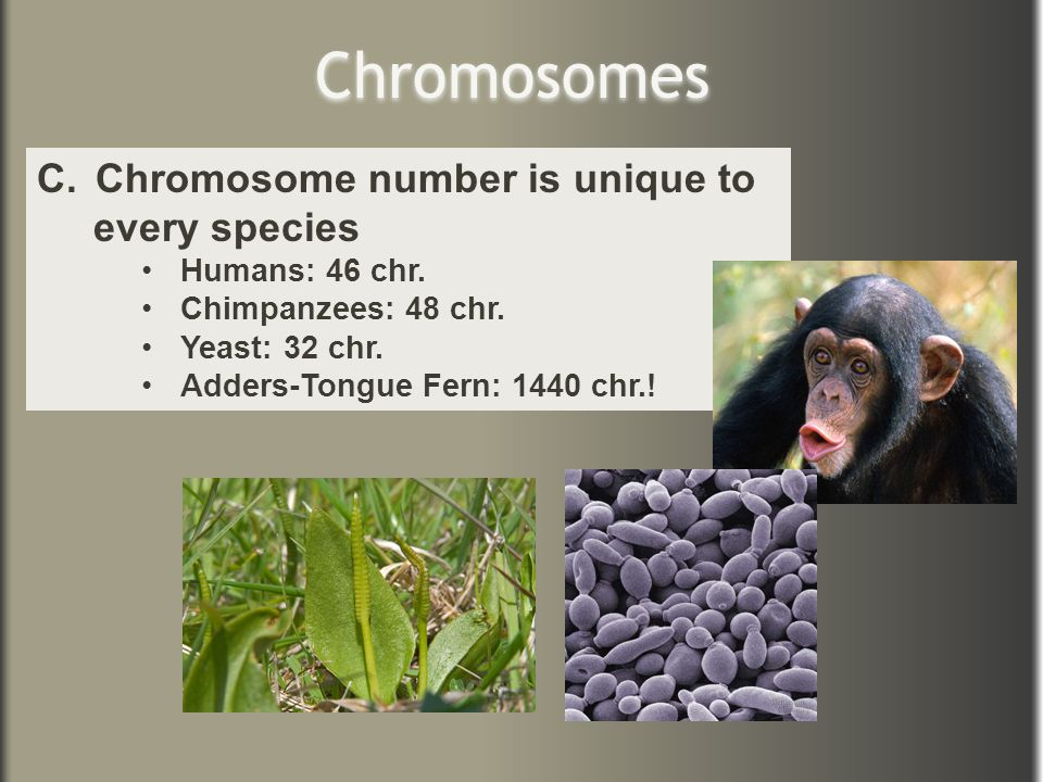 Chromosomes Chromosome number is unique to every species