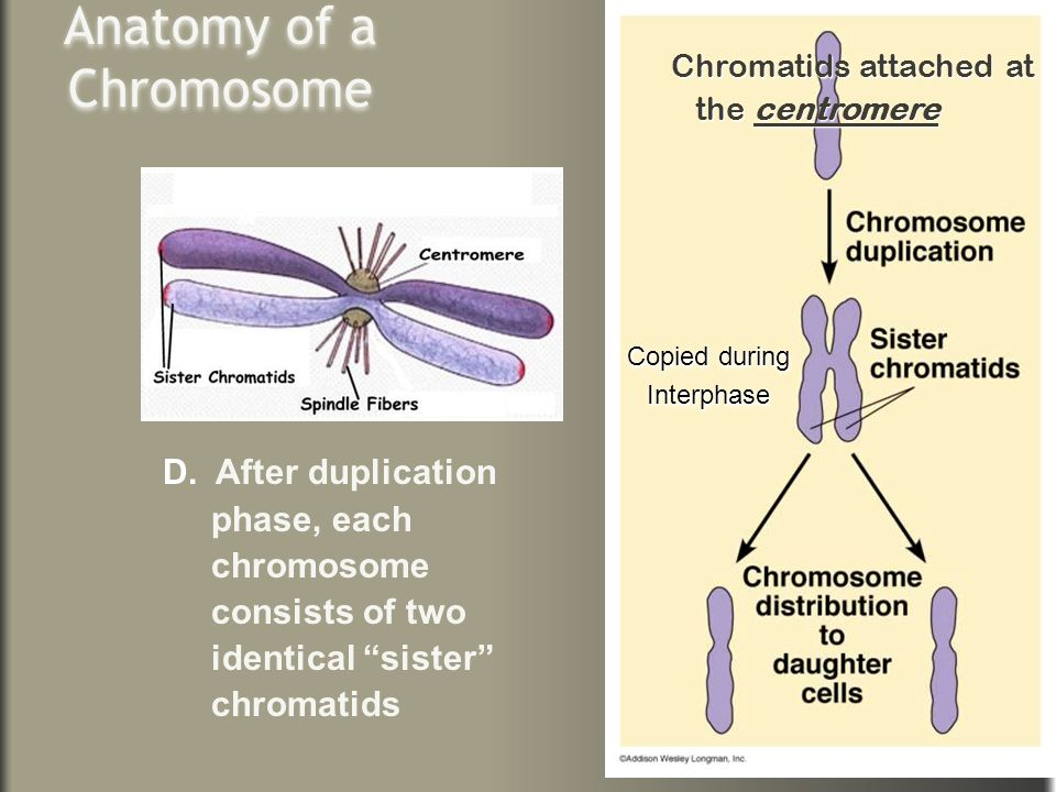 Anatomy of a Chromosome