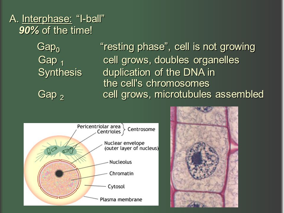 Gap0 resting phase , cell is not growing