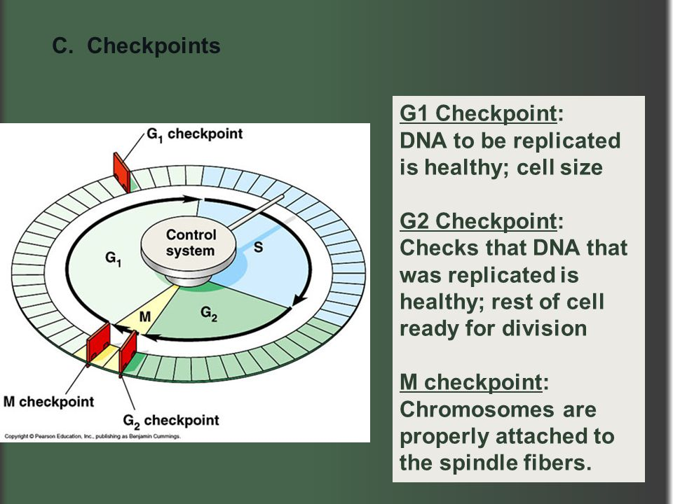 C. Checkpoints G1 Checkpoint: DNA to be replicated is healthy; cell size.