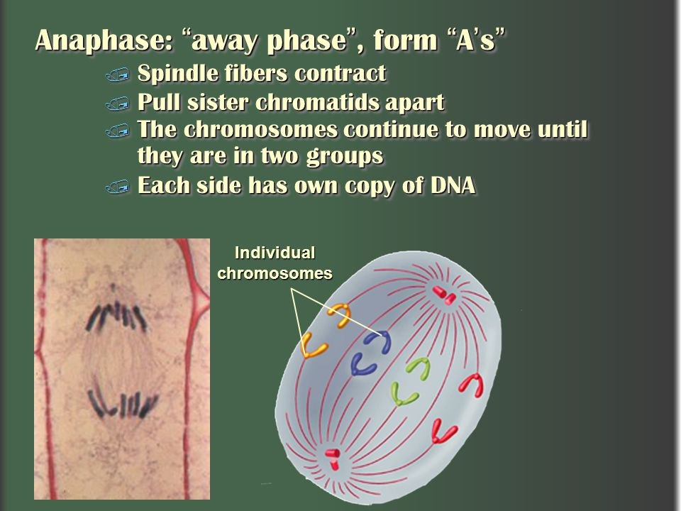 Anaphase: away phase , form A's