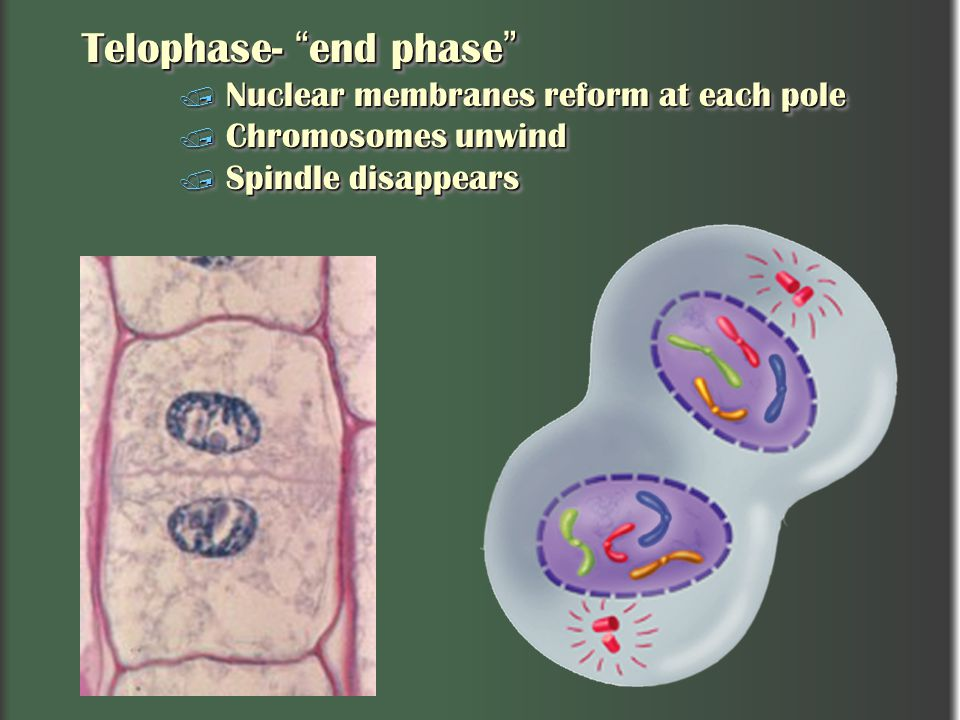 Telophase- end phase