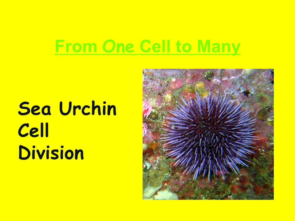 Sea Urchin Cell Division